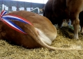 Concours national Limousin